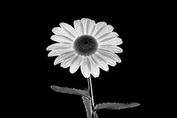 A Lone Daisy thumbnail