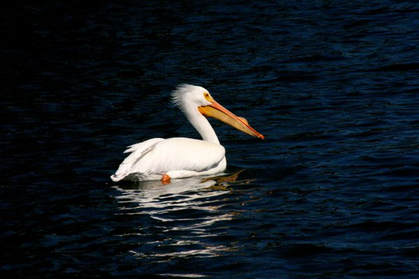 White Pelican with Horn in Florida during breeding season. thumbnail