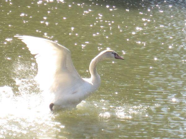 Goose in pond thumbnail