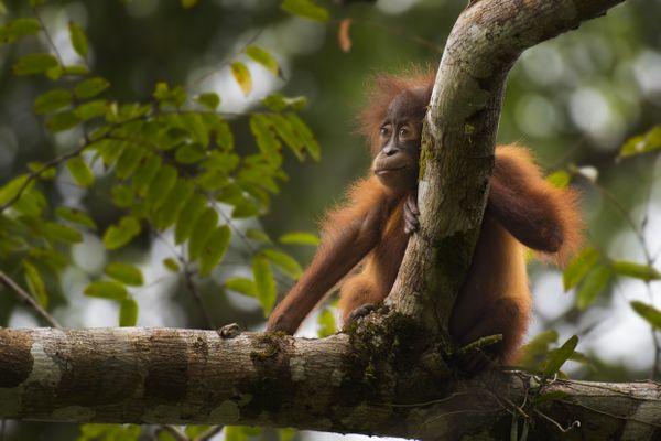 Baby Orangutan thumbnail