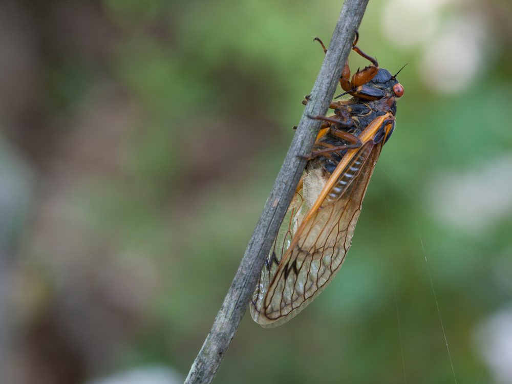 A cicada with white fungus growing out of its butt sits on a thin tree branch