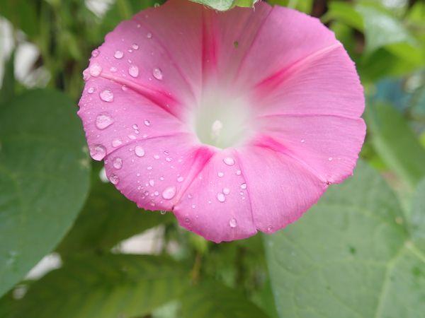 Geranium in the Rain thumbnail