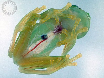 The Glass Frog (Centrolenella colymbiphyllum) has skin so translucent that you can watch its heart beating.