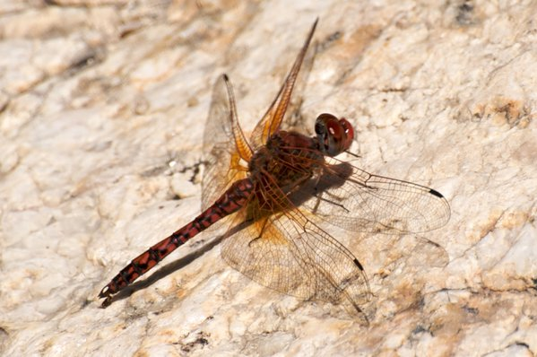 Dragonfly resting in Arizona. thumbnail