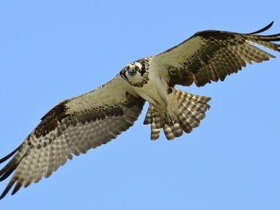 An osprey, commonly called a sea hawk.