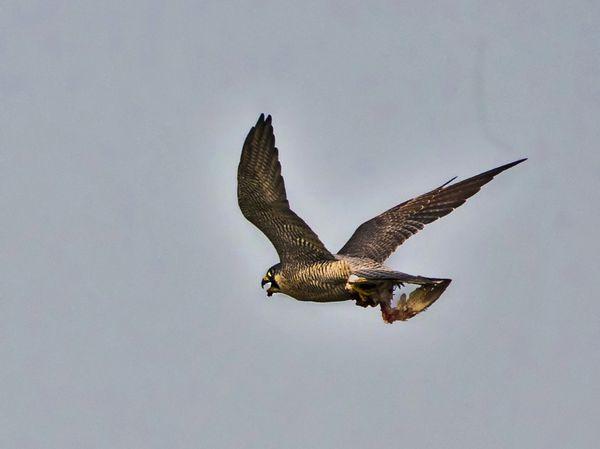 Peregrine falcon with kill thumbnail