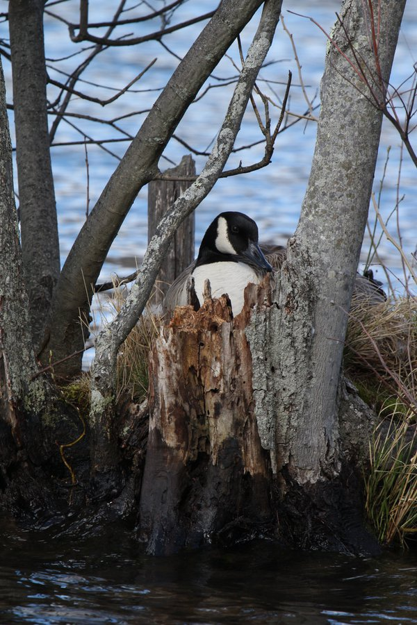 Canadian Goose on her nest thumbnail