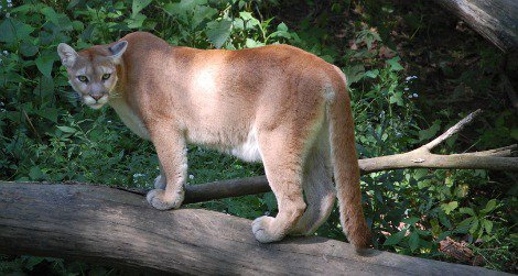 The mountain lion is one of the most common large cats but also one of the hardest to see.