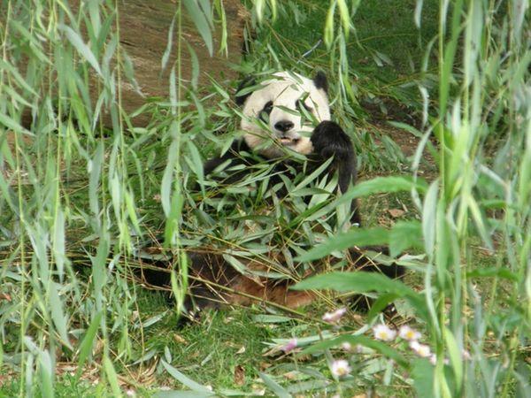 Tai Shan hiding under bamboo at the Smithsonian's National Zoo. thumbnail