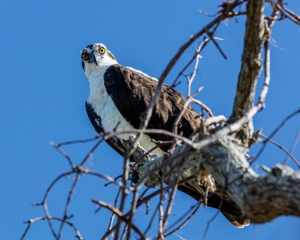 Backyard Osprey thumbnail