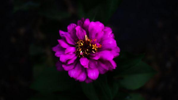 Sinful Zinnia Flower thumbnail