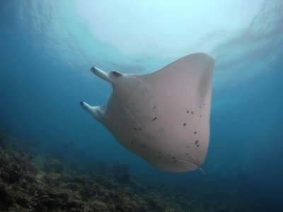 Through the Manta Trust's adoption program, donors can choose to adopt any one of a number of frequently sighted manta rays in the Maldives.