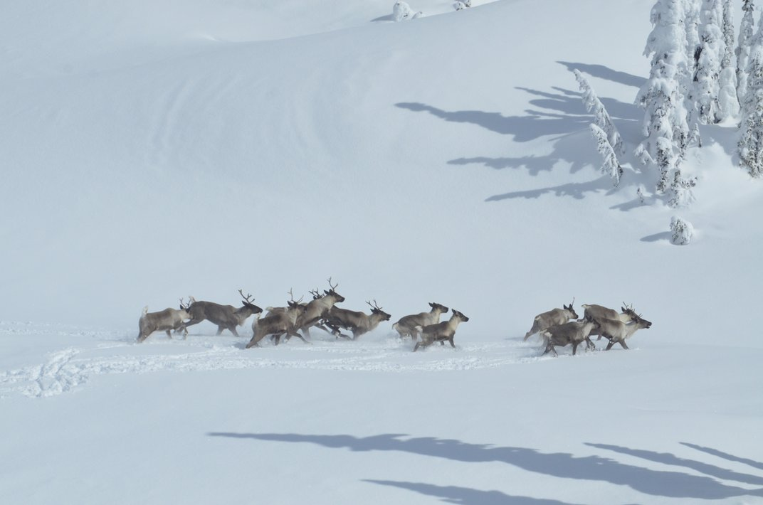 How Killing Moose Can Save Caribou