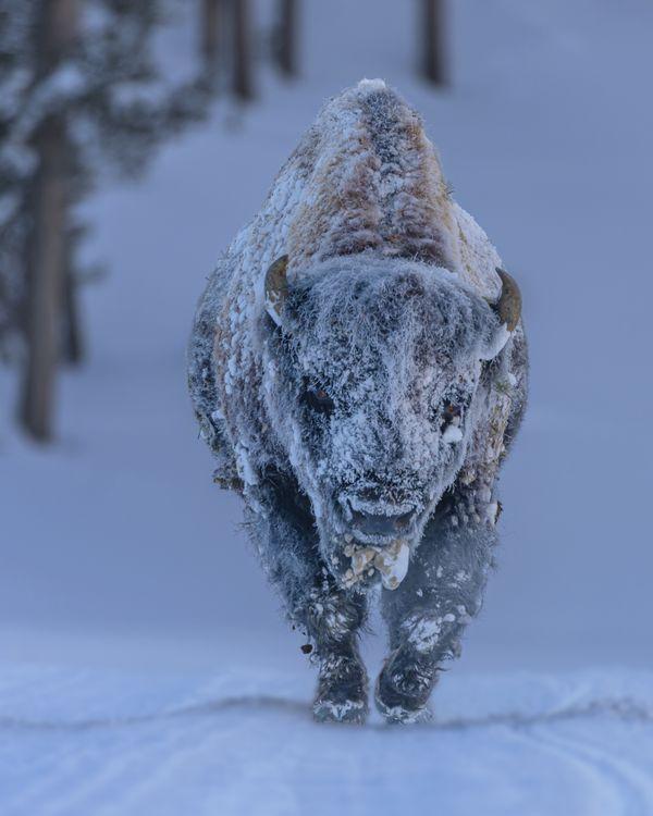 Frosty Bison thumbnail