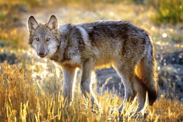 Yellowstone Wolf thumbnail