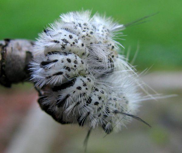White caterpillar around a twig thumbnail