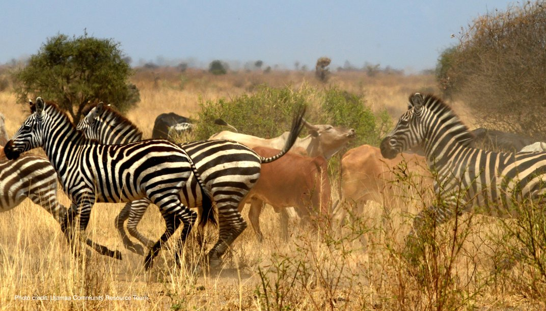zebra and cattle together on a plaine