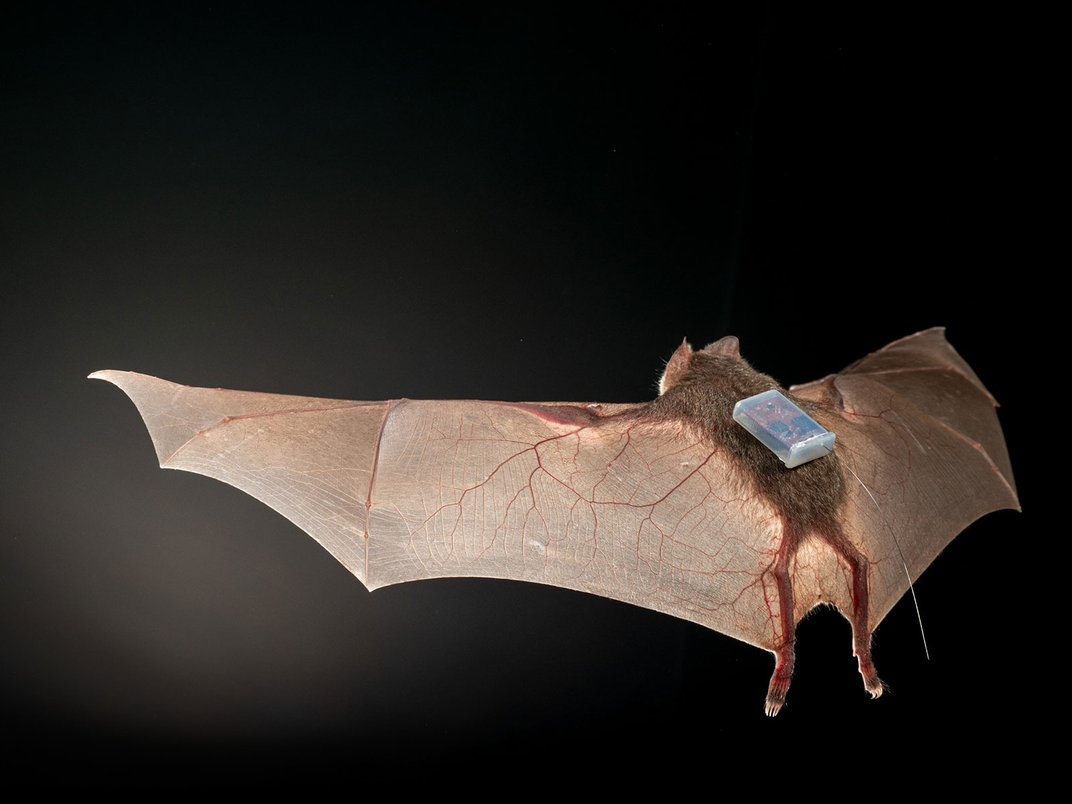 Vampire Bats Call Out to Friends to Share Blood Meals
