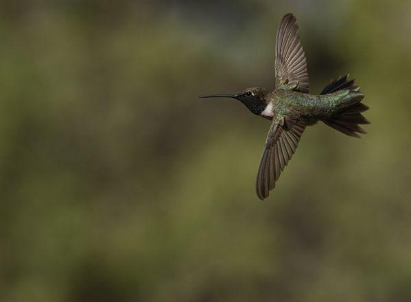 Colibri thumbnail