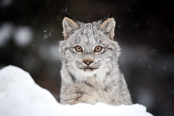 Canada Lynx Kitten in Ontario, Canada. thumbnail