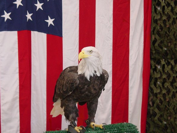 An American Eagle in front of the Stars and Stripes. thumbnail