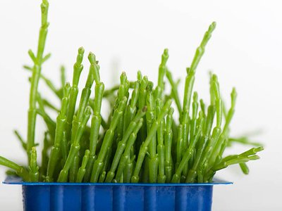 Sea beans, otherwise known as sea asparagus and pickleweed, belong to the genus Salicornia, marsh plants that thrive in salty soils.
