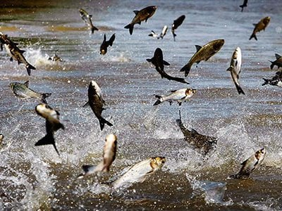 Asian carp, imported from China in 1973 to clean algae from Southern ponds, broke from their confines and infested the Mississippi River waterways.