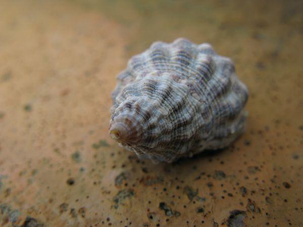Small shell thumbnail