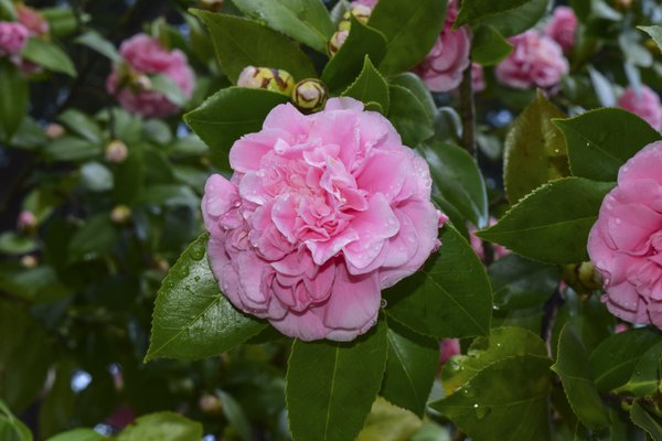 Aunt Ginny's Pink Camellia thumbnail