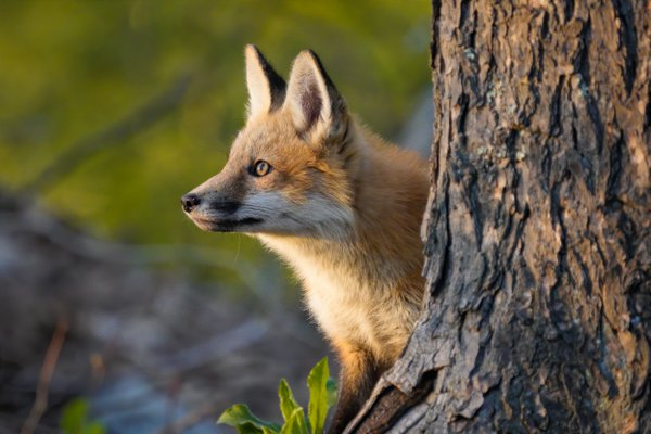 Red Fox pup staring into the sun thumbnail