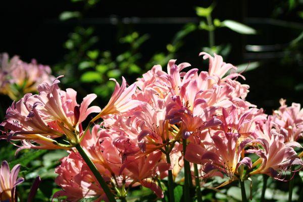 Late Summer Lilies thumbnail