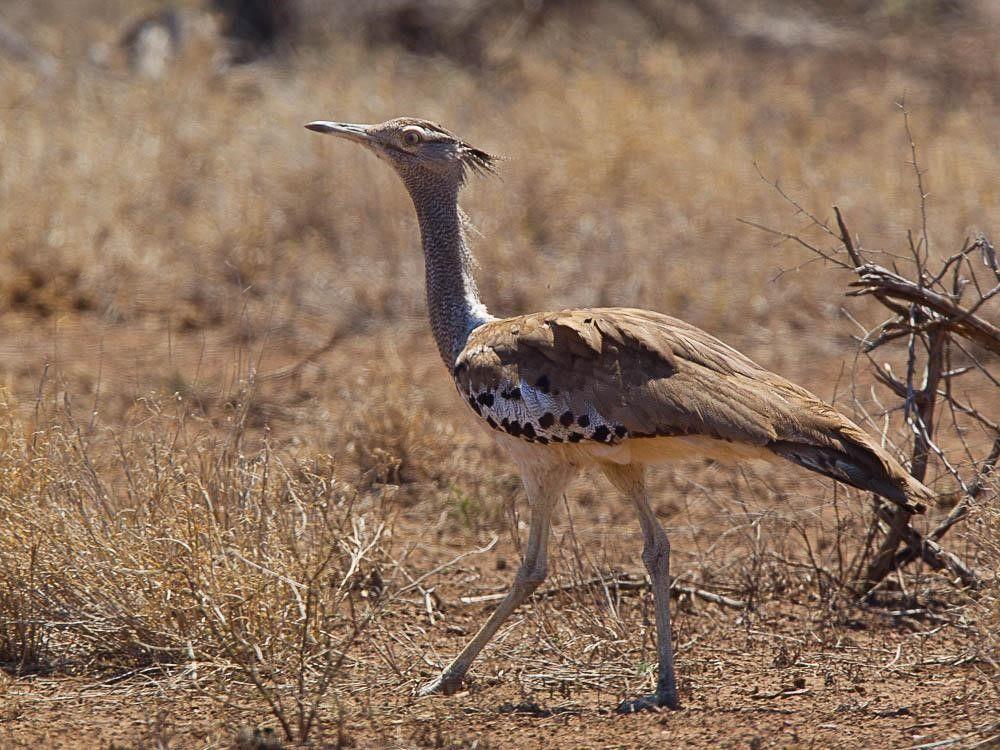 A bird walking on the desert floor.