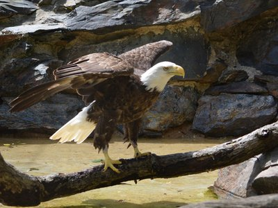 Bald eagles are native to the United States, but caring for them is a unique and rare opportunity. Every bald eagle in human care, including Annie pictured here, is a rescue.