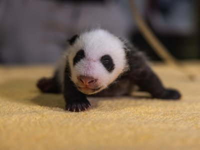 It's a boy! DNA taken from a cheek swab of the 3.6-pound giant panda cub confirms the animal's sex.
