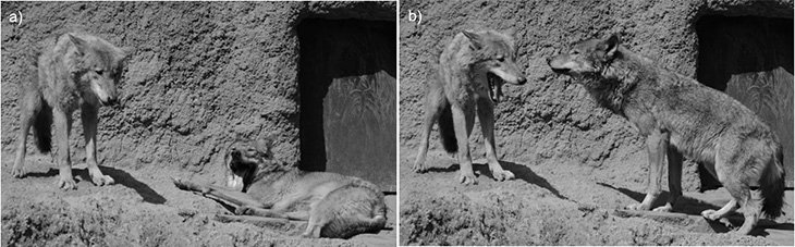 Yawning Spreads Like a Plague in Wolves