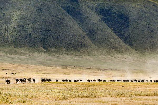 Wildebeest running from danger thumbnail