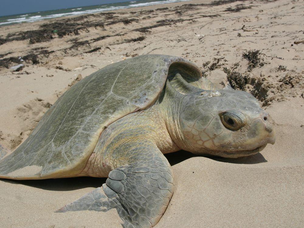 Kemp's_Ridley_sea_turtle_nesting.JPG