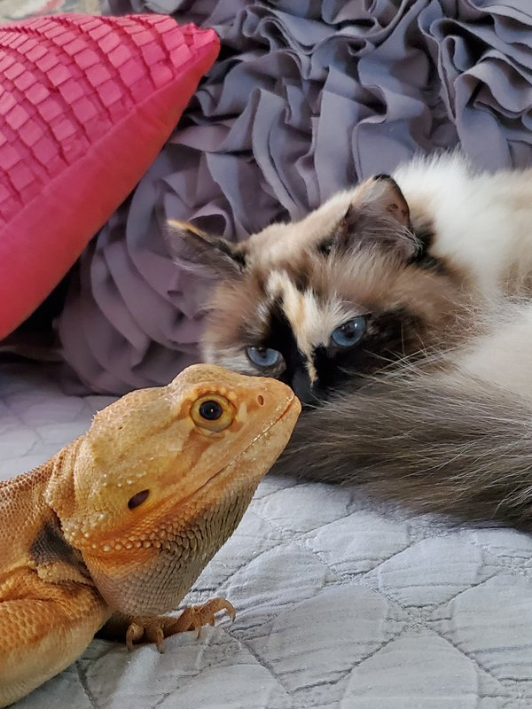 A pet Bearded Dragon relaxing with a Ragdoll Cat thumbnail