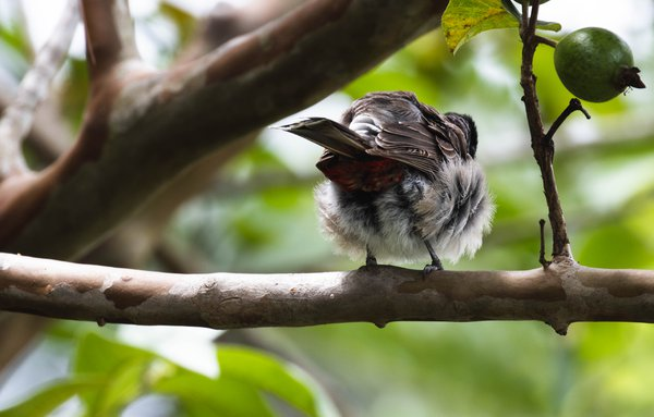 Bulbul from the back thumbnail
