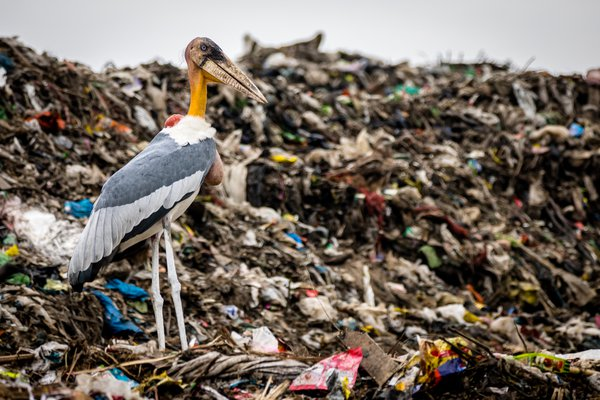 An endangered Greater Adjutant Stork scavenges in the Boragaon landfill thumbnail