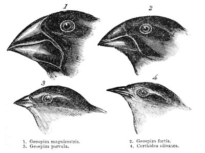Ornithologist John Gould's illustrations of finches collected by Charles Darwin on the Galápagos Islands show the physical differences that the men relied on in dividing them into different species.
