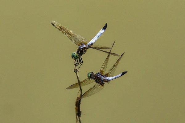 Dragonflies at rest and in flight thumbnail