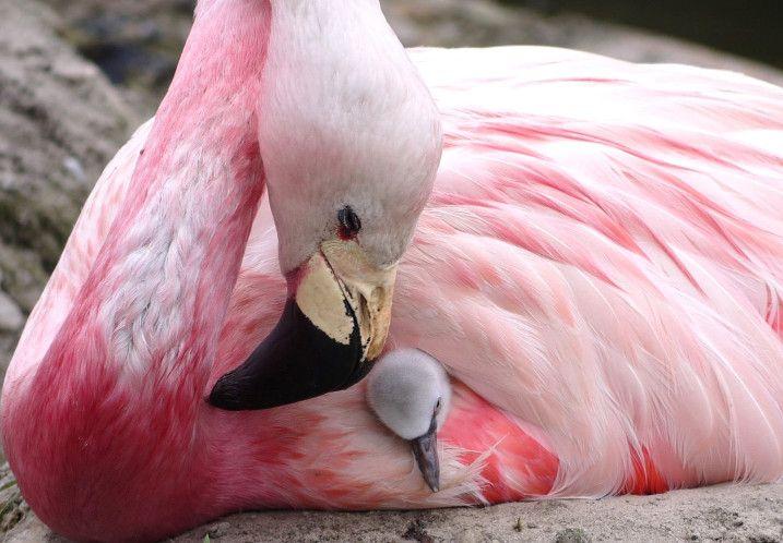 FlamingoFoster1closeup.jpg