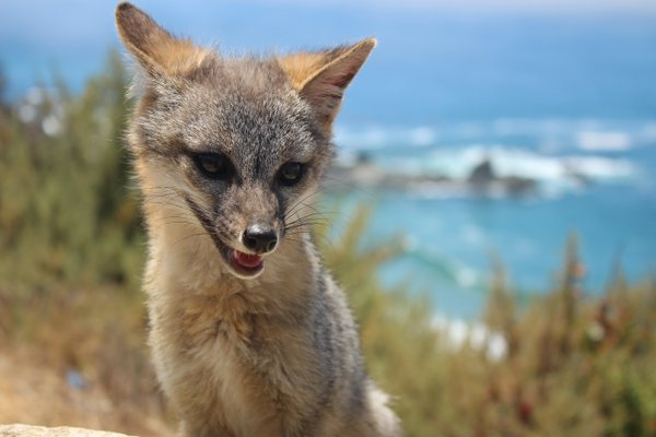 The happy fox of Big Sur thumbnail