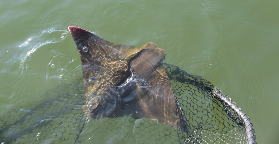 Cownose ray swimming out of net into water