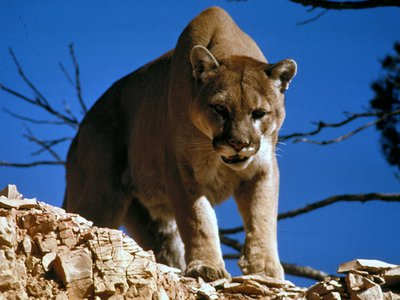 About 6% of mountain lion deaths between 2005 and 2014 were due to the plague, according to new research.