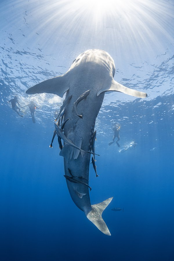 A feeding whaleshark in Madagascar thumbnail