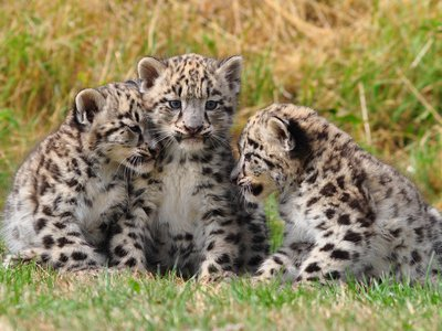 The Melbourne Zoo welcomed three baby snow leopard cubs in February.