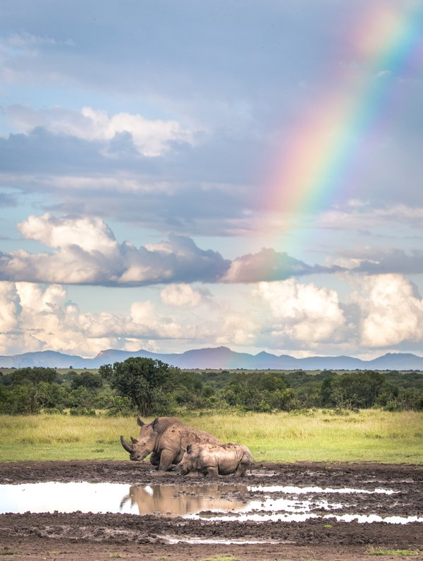 Baby Rhino and his mother at the end of a Rainbow in Ol Pejeta Conservancy thumbnail