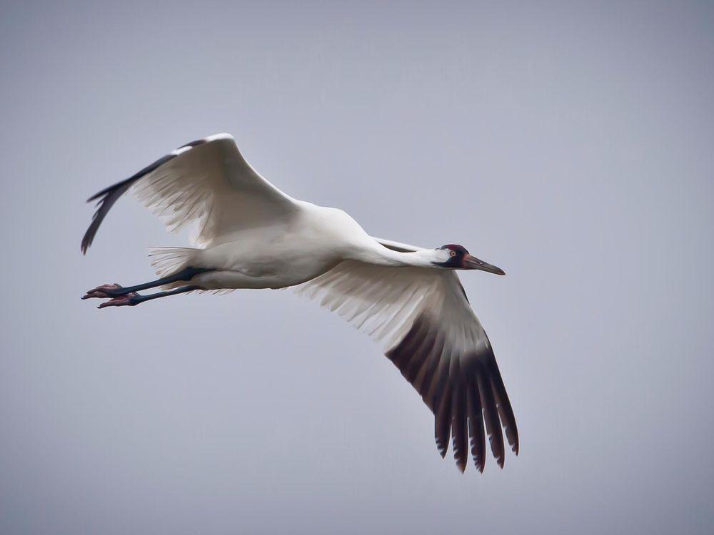Whooping_Crane_in_flight_in_Texas (1).jpg